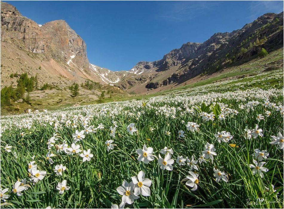Narcisse, fleur de montagne